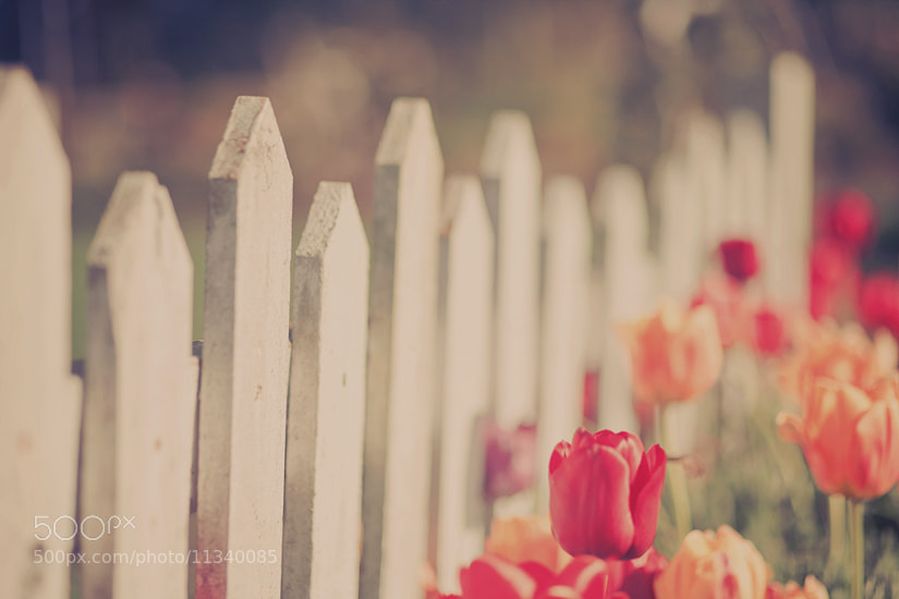 Photograph Tulip Fence by Mahoney Photography [Ryan Mahoney] on 500px