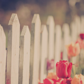 Tulip Fence by Mahoney Photography [Ryan Mahoney] (mahoneyphotography)) on 500px.com
