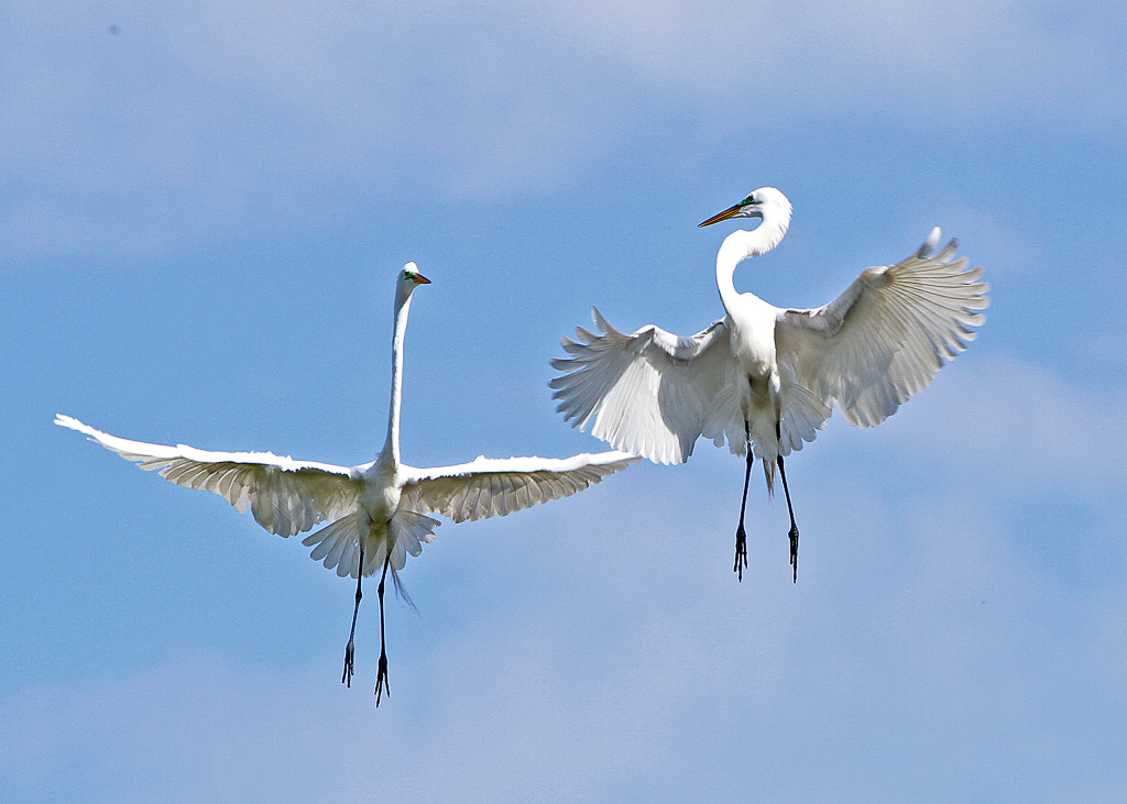 Photograph Common Egret courtship by William Potter on 500px