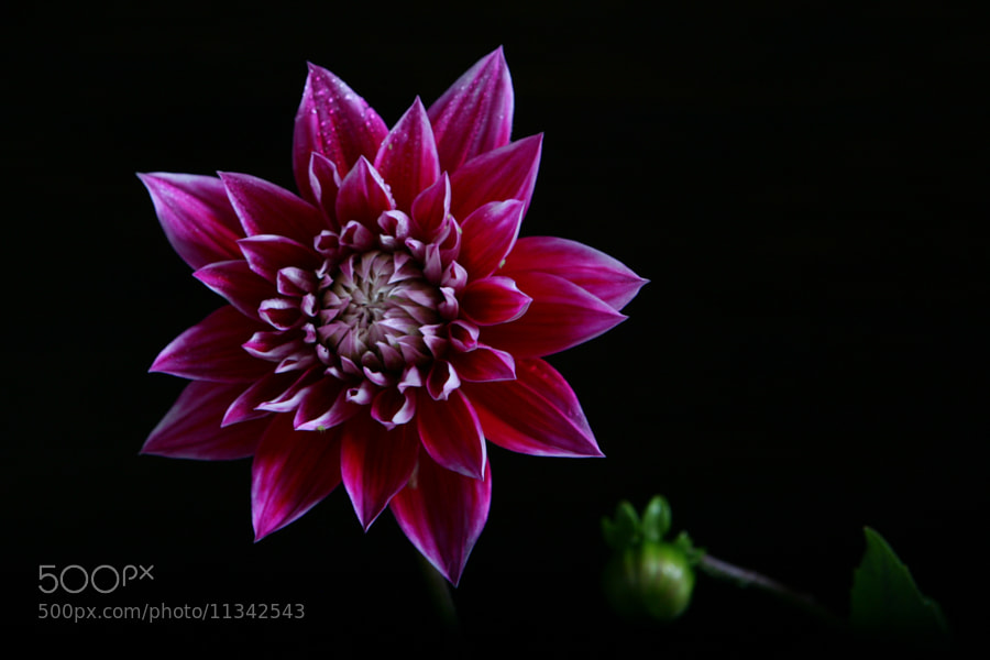 Photograph Pink Dahlia, and button by Cristobal Garciaferro Rubio on 500px