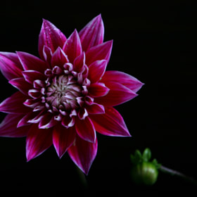 Pink Dahlia, and button by Cristobal Garciaferro Rubio (CristobalGarciaferroRubio)) on 500px.com