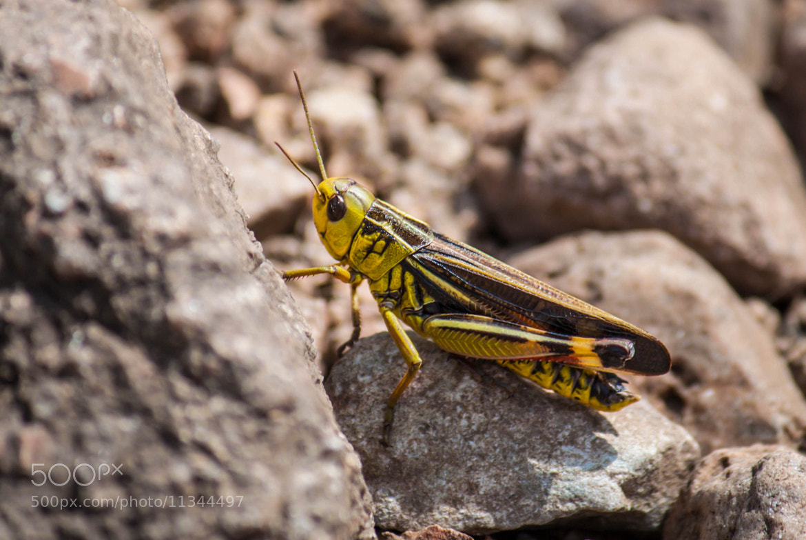 Photograph Grasshopper by Tatiana K on 500px