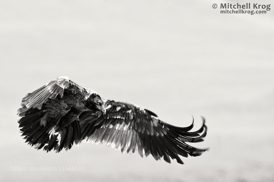 Photograph Bearded Vulture in Monochrome by Mitchell Krog on 500px