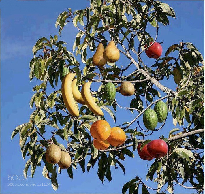 Photograph ALL fruits in one Tree by Sandeep  Rana on 500px