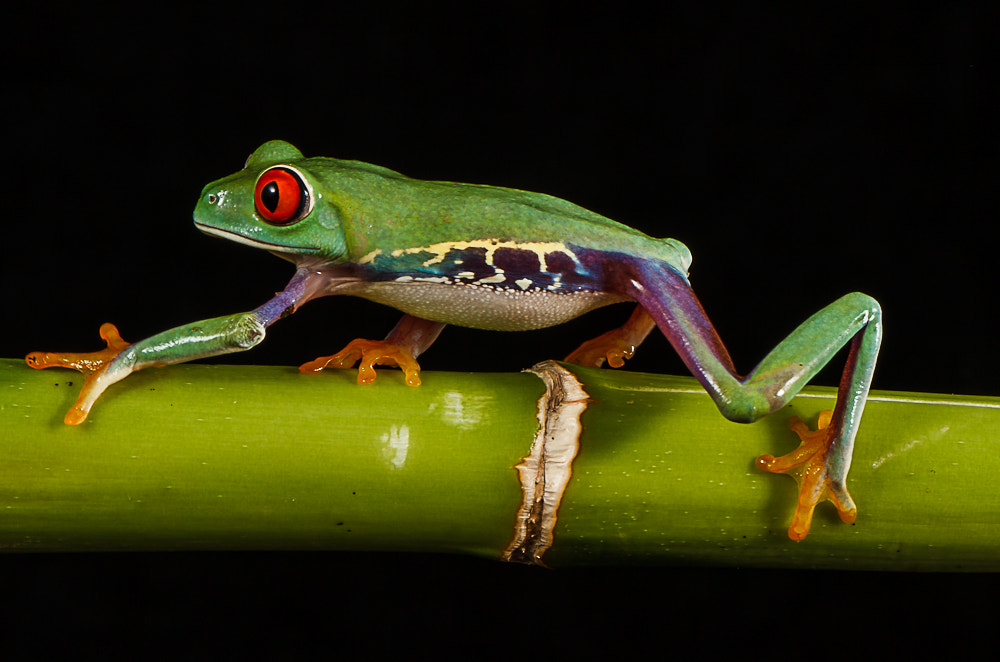 Photograph I'm Off (Red eyed tree frog) by John Starkey on 500px