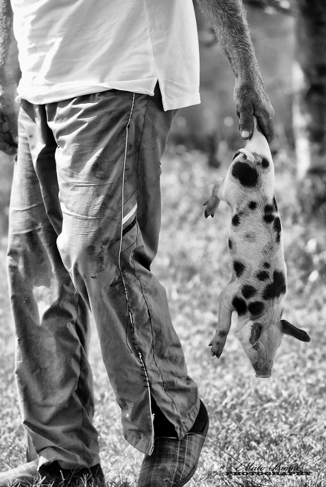 Photograph Dalmatian returns home by Mato Bičvić on 500px