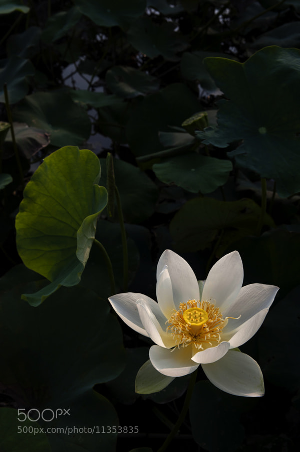 Photograph Waterlilies by taya liu on 500px