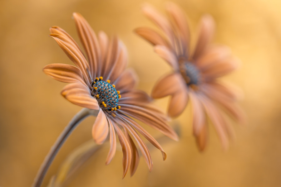 Cape Daisies by Mandy Disher on 500px.com