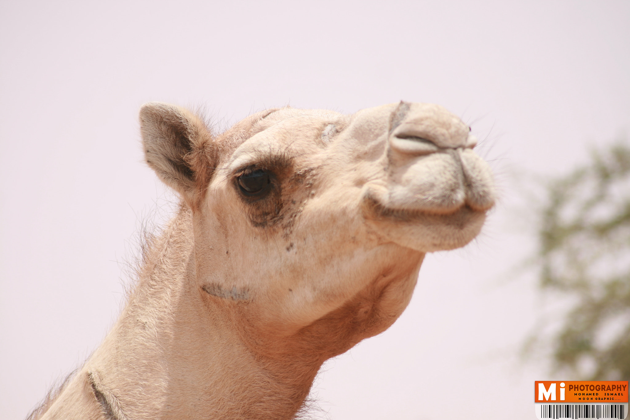 Photograph Camel  by Mohamed Ismael on 500px