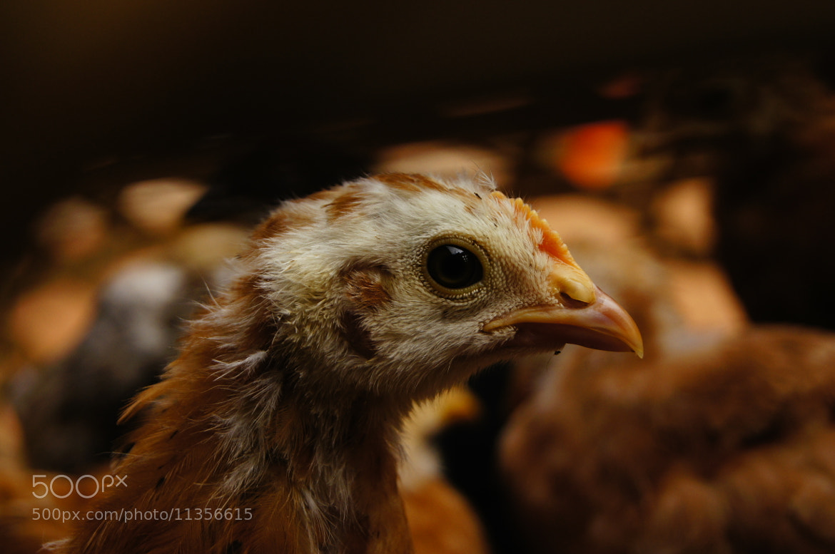 Photograph live Chicken. by Afzal Khan on 500px