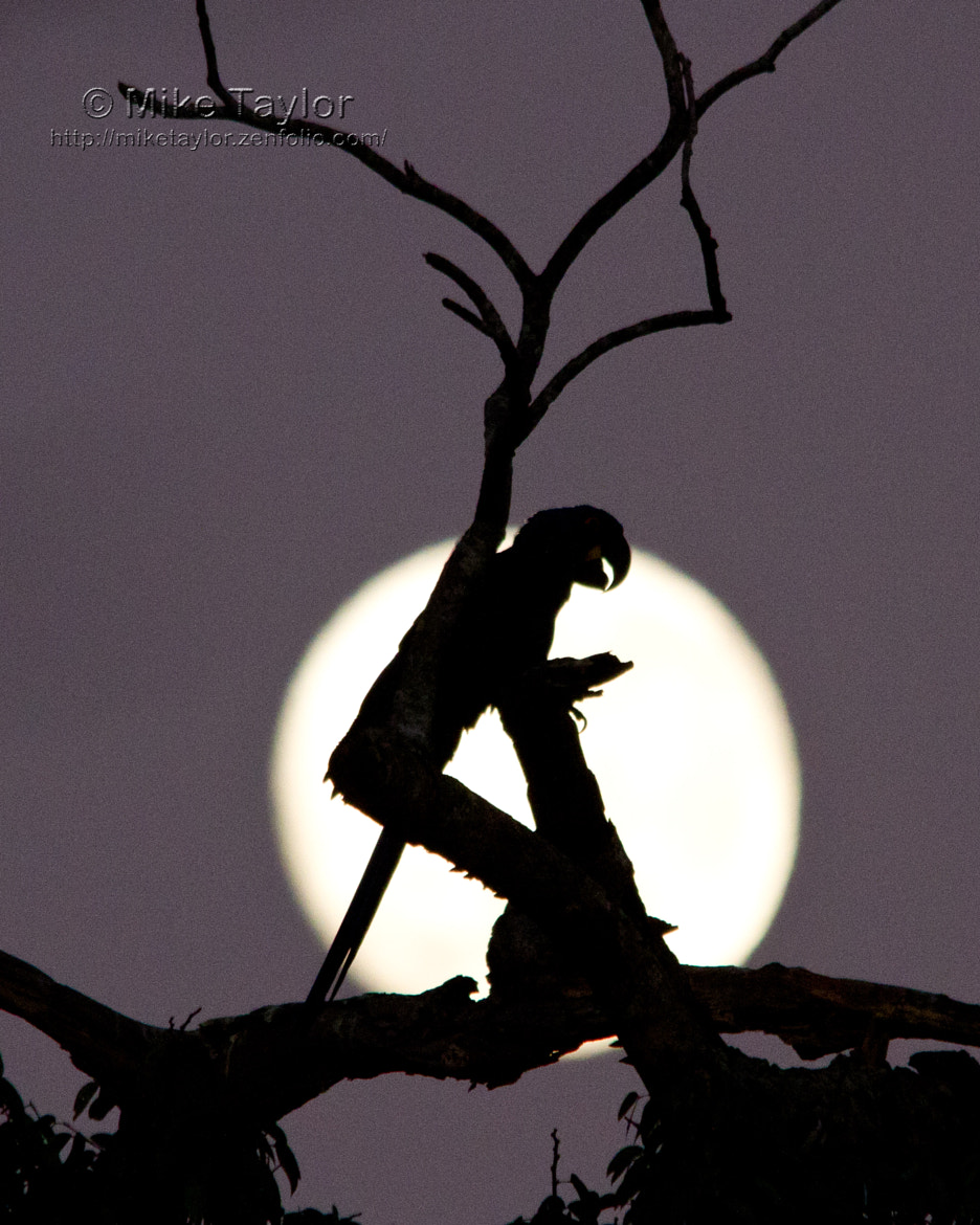 Photograph Macaw Silhouette by Mike Taylor on 500px