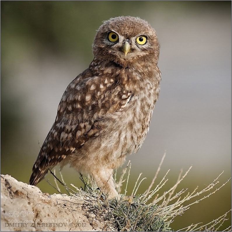 Photograph Liittle Owl by Dmitry Zherebtsov on 500px
