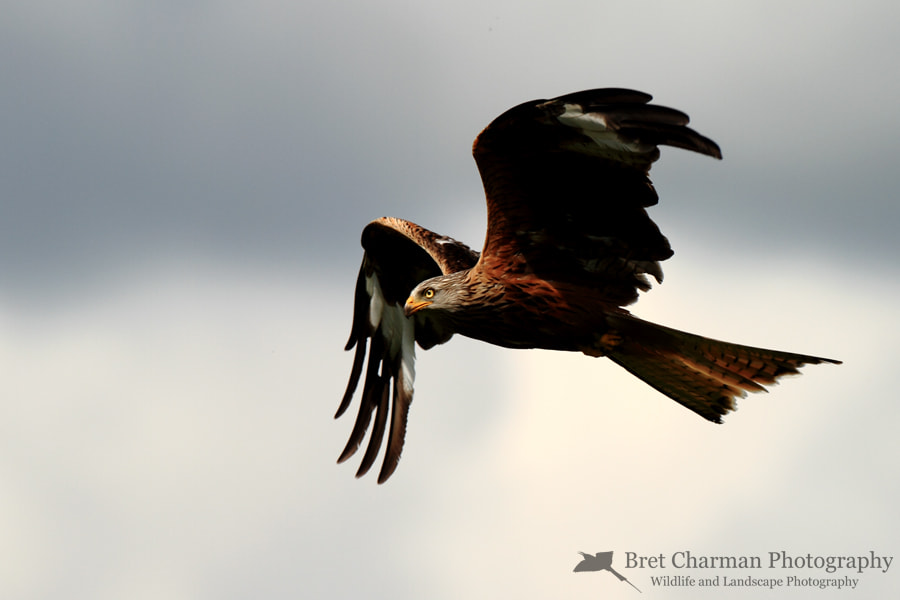 Photograph Red Kite by Bret Charman on 500px