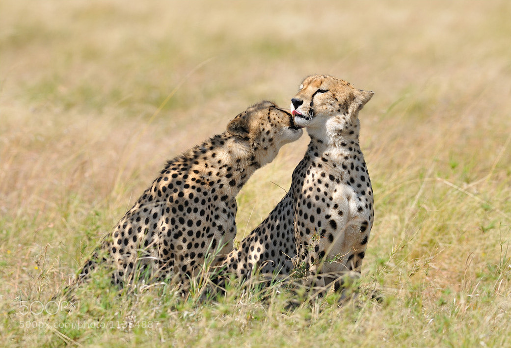 Photograph That's why cheetas are always clean by Nikolai Zinoviev on 500px