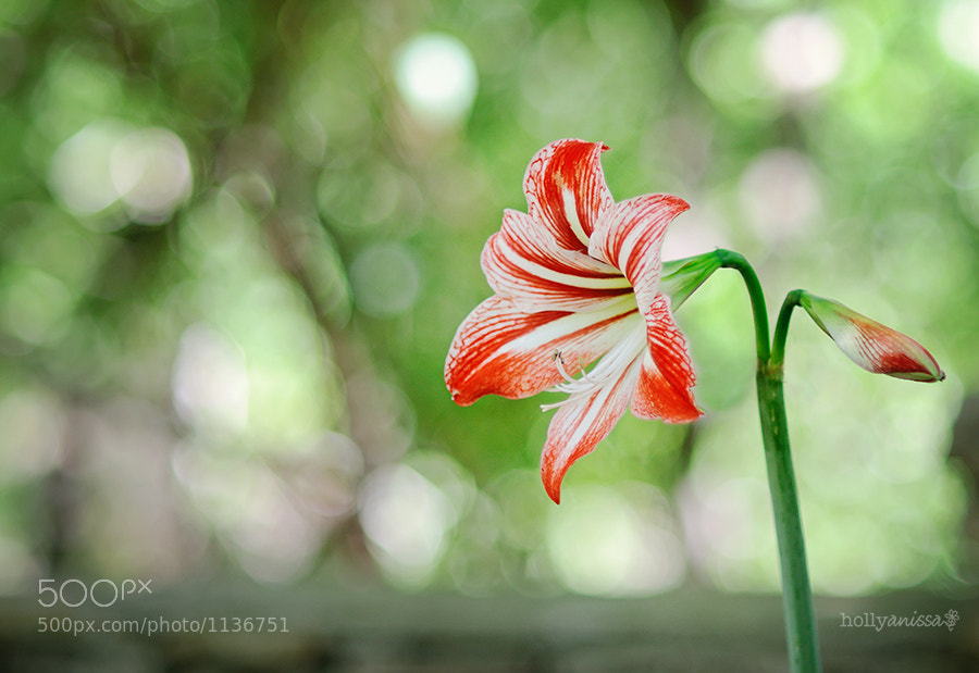 Photograph Lily by Holly Thompson on 500px