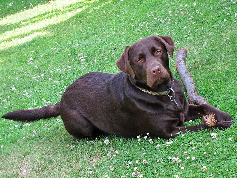 Photograph Chocolate Labrador by Stella Newman on 500px