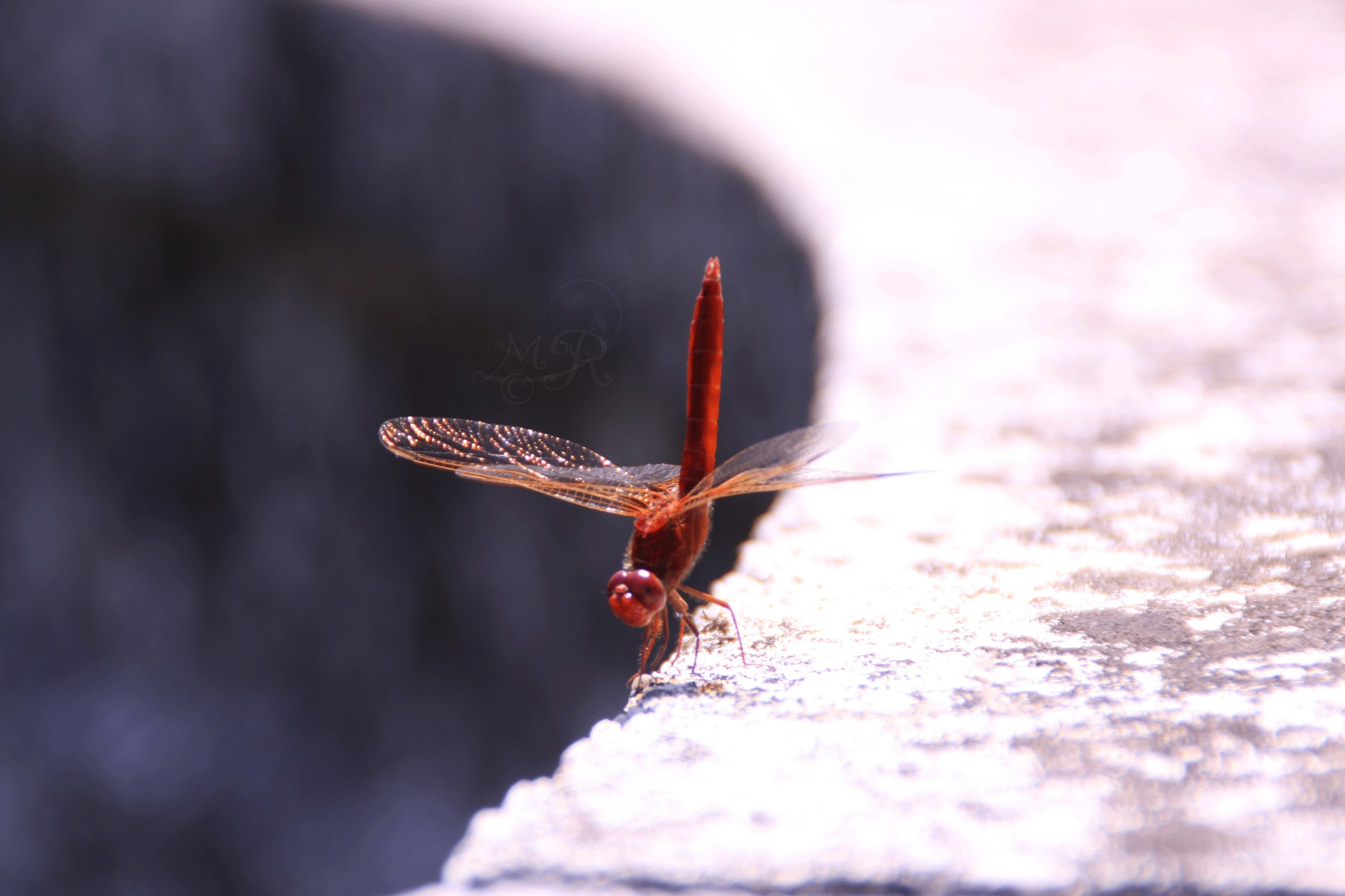 Photograph dragonfly by Rosamaria Marchetti on 500px