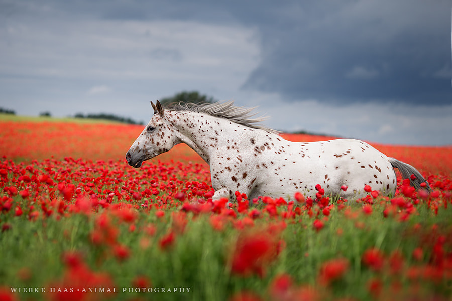 horse photography - Thunder Is My Name by Wiebke Haas on 500px.com
