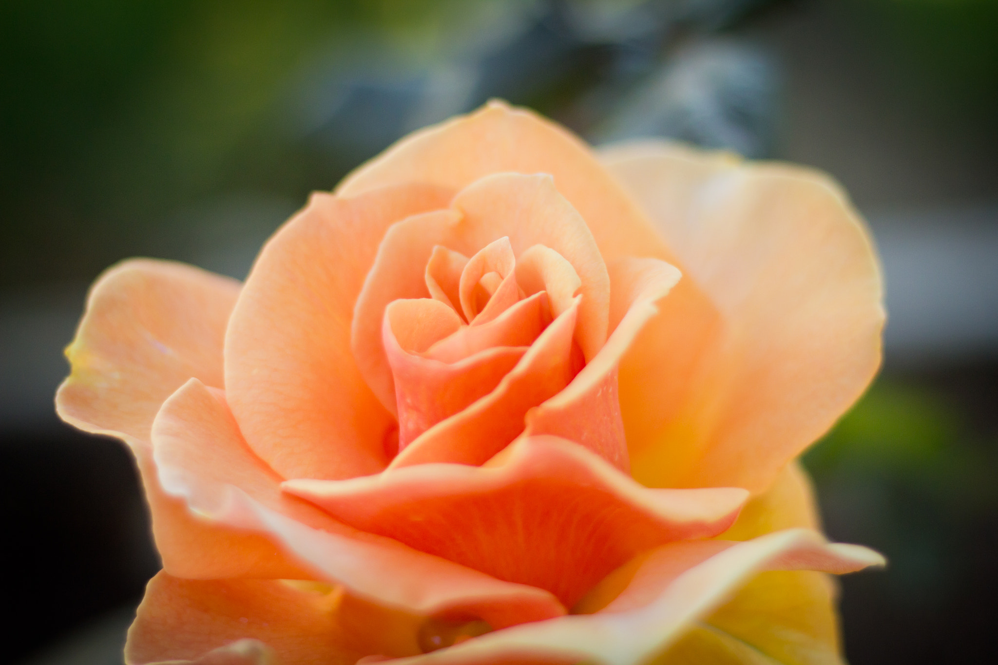 Photograph A Rose in San Pedro by Jonah Walker on 500px