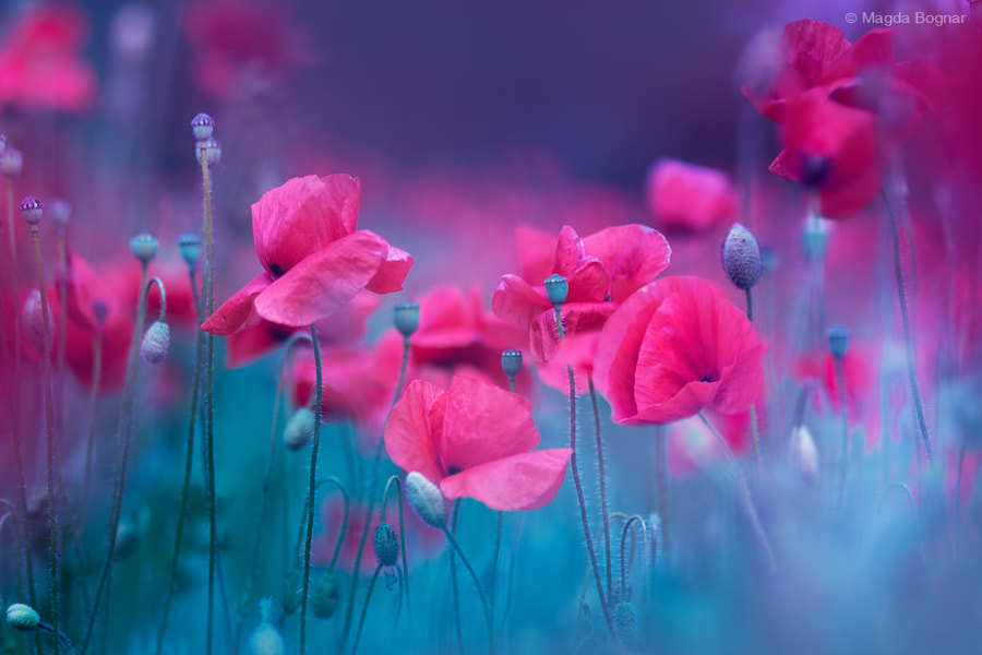 Blue Garden Poppies, автор — Magda  Bognar на 500px.com