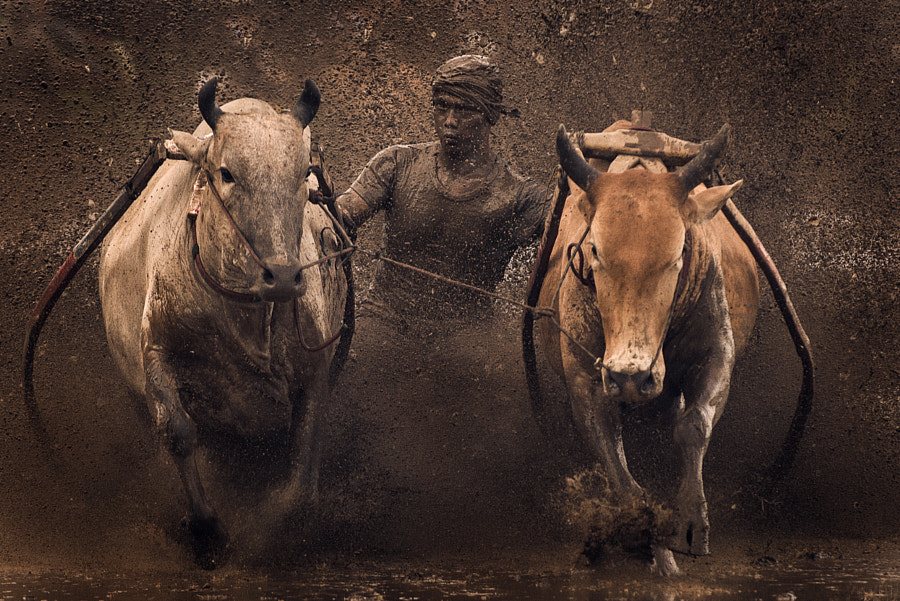 Bullrace @ Pacujawi by Mohd Irman Ismail on 500px.com