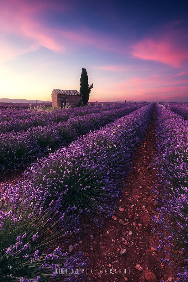 Lavender Lines by Julien Loize on 500px.com