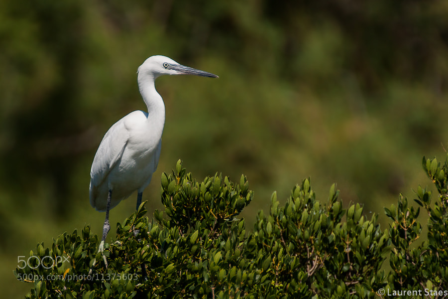 Photograph Little Egret by Laurent Staes on 500px