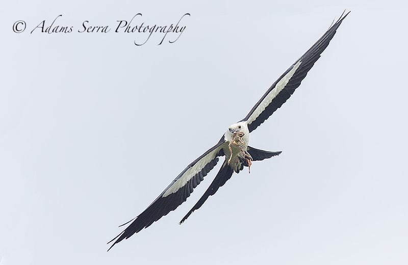 Photograph Swallow tailed Kite by Adams Serra on 500px
