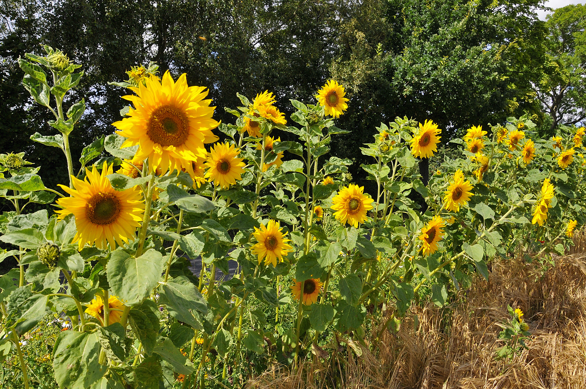 Photograph Sunflowers by Flemming Olsen on 500px