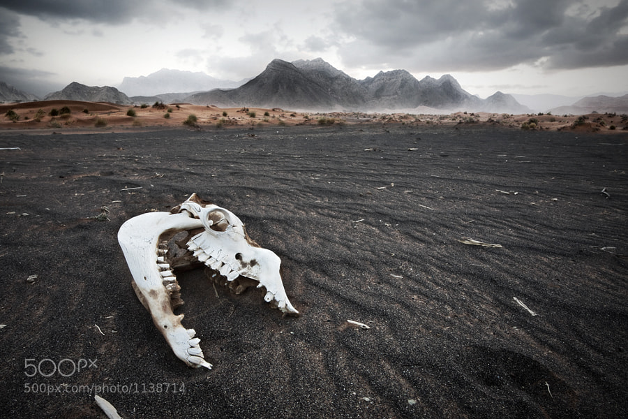 Camel_Skull_shot_just_outside_Dubai.