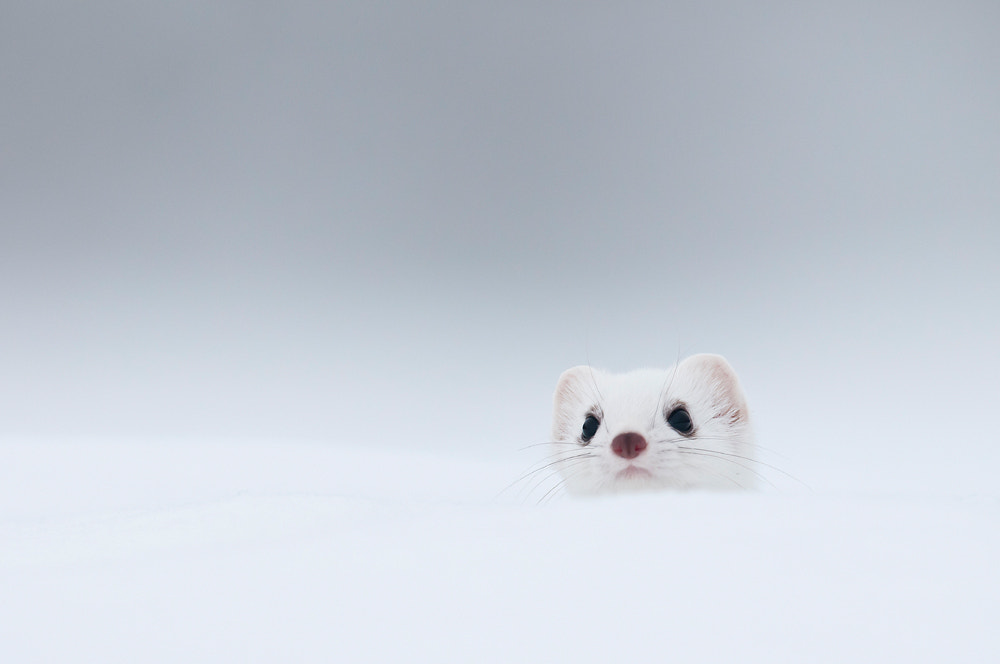 Photograph White stoat by Fabien Gréban on 500px