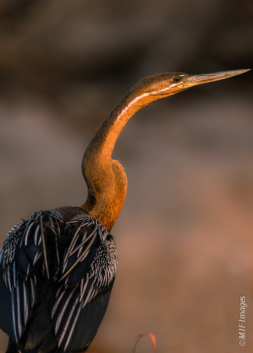 Photograph African Darter by Michael Flaherty on 500px