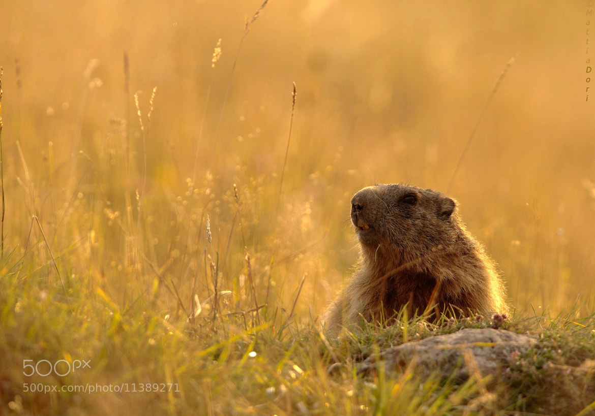 Photograph Marmota marmota by Mattia Dori on 500px