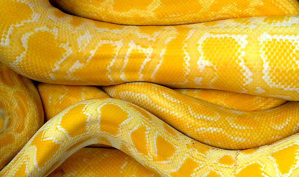 Photograph Yellow snake pattern by Isroi Isroi on 500px