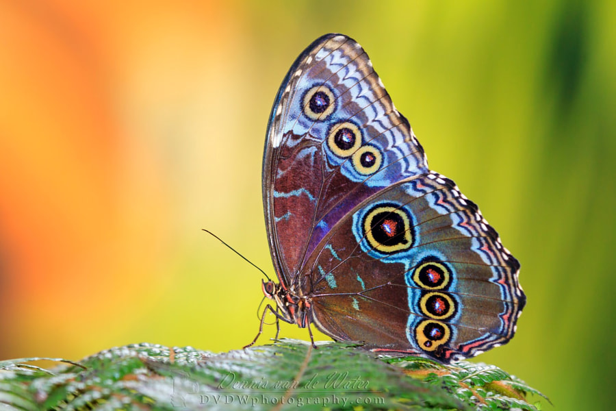 Photograph The Blue Morpho by Dennis van de Water on 500px