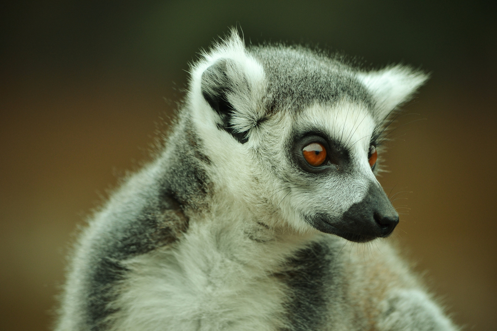 Photograph lemur portrait from 2011 by emily prouse on 500px