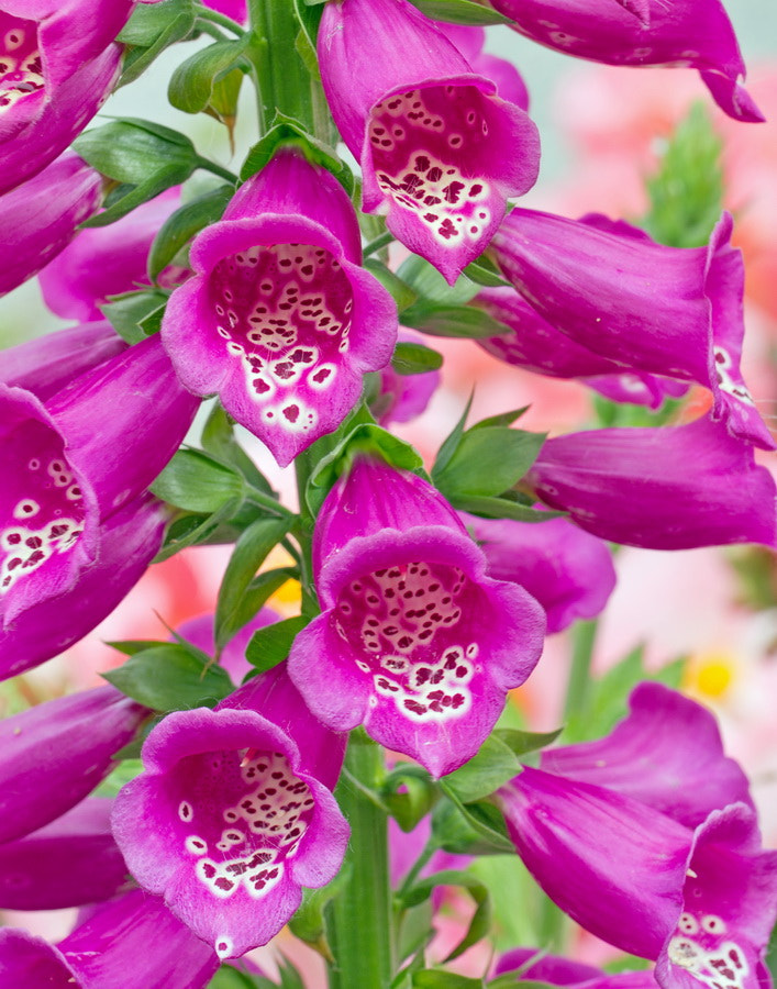 Photograph Foxglove by Mike Oberg on 500px