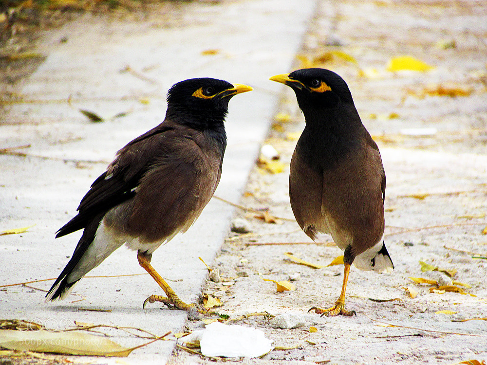 Photograph Myna by Amin Afshar on 500px