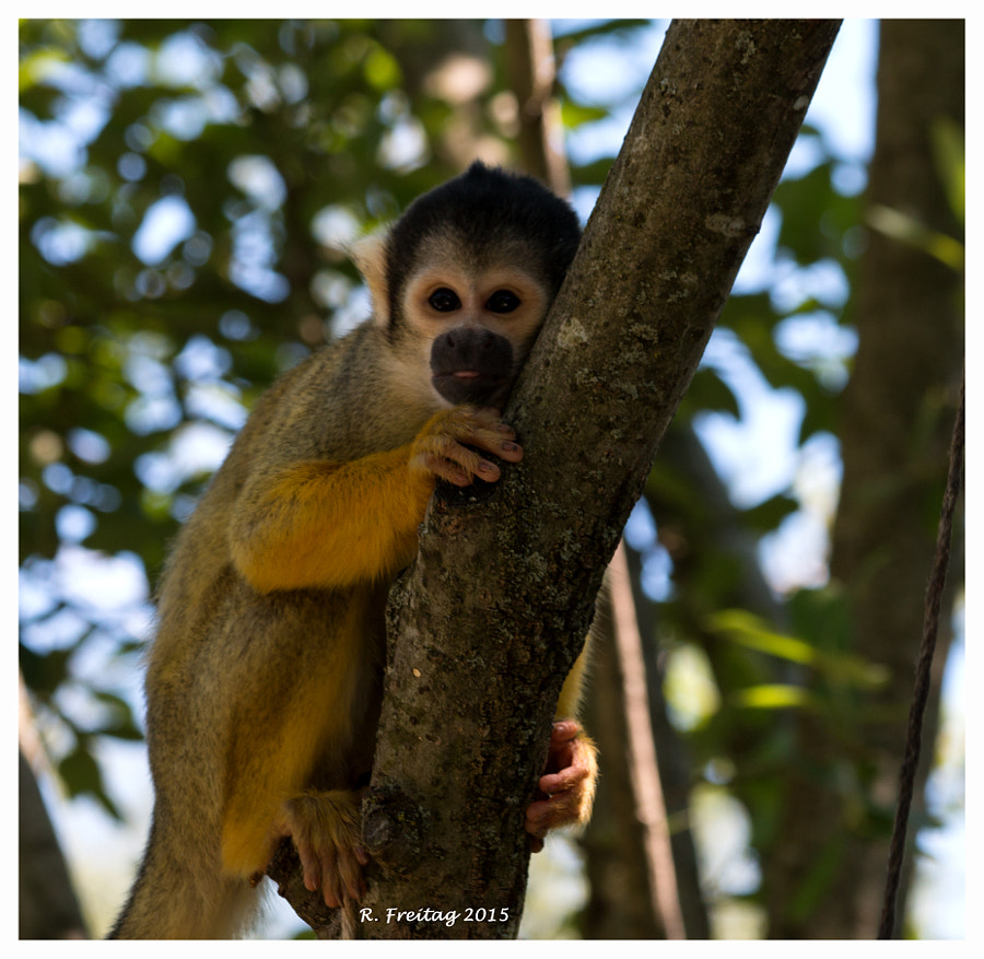 Squirrel Monkey (9449)