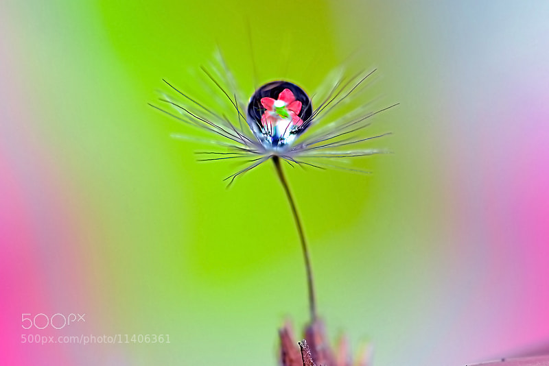 Photograph Flower in Drop  by Bu Balus on 500px