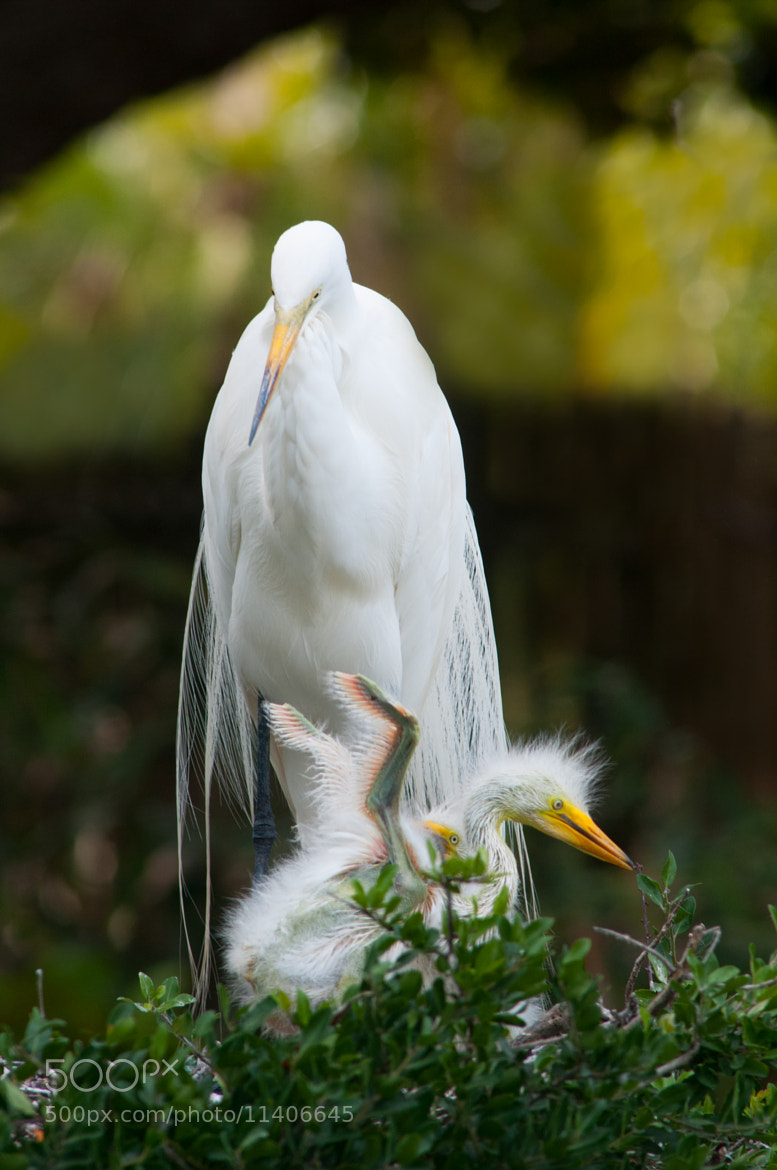 Photograph Great Egret (Ardea alba) chick in nest by Jim McKinley on 500px