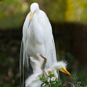 Great Egret (Ardea alba) chick in nest by Jim McKinley (JimMcKinley)) on 500px.com