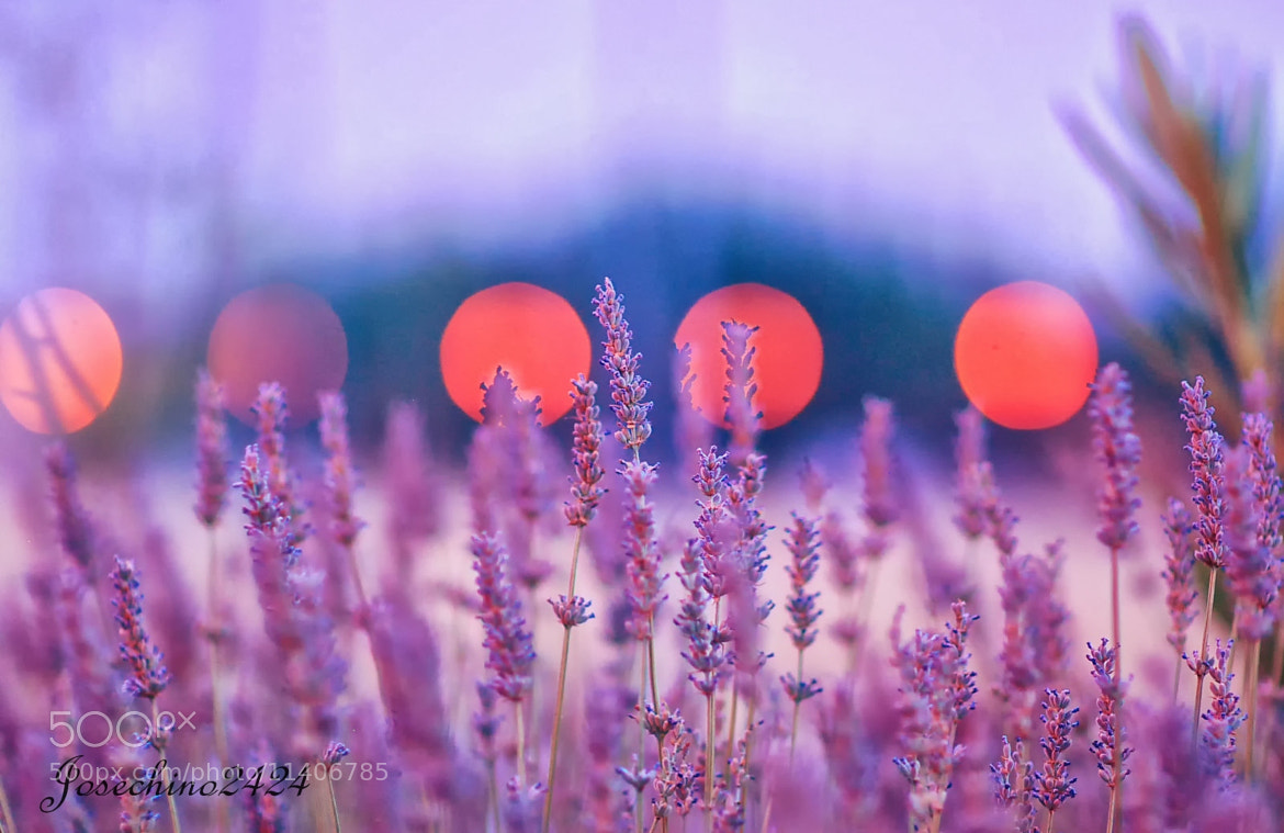 Photograph Bokeh y lavandas by Jose Maria Ramos Montero on 500px