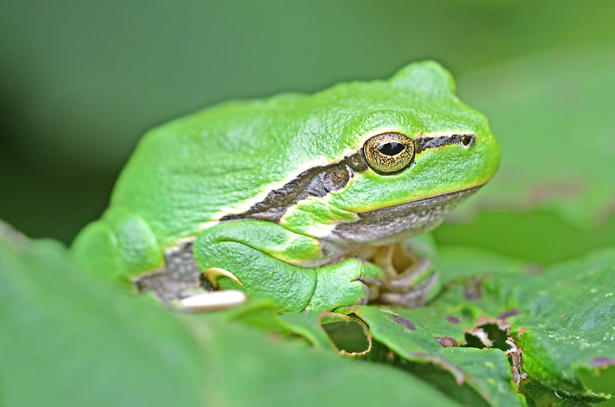 Photograph Treefrog II by Wim Peeters on 500px