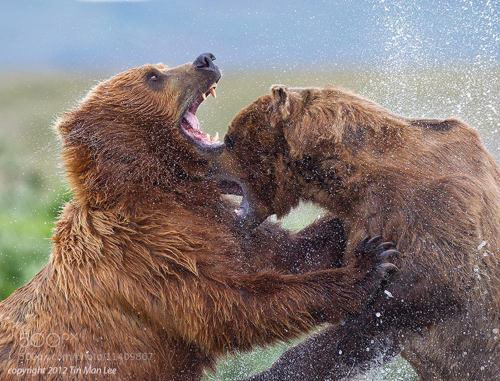 Photograph Bear Fight by Tin Man on 500px