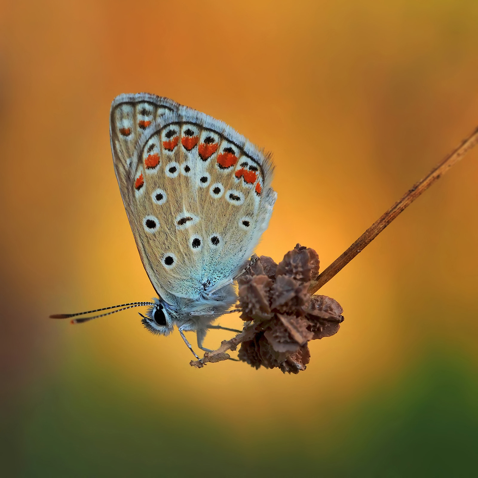 Photograph small licenide by ivo pandoli on 500px