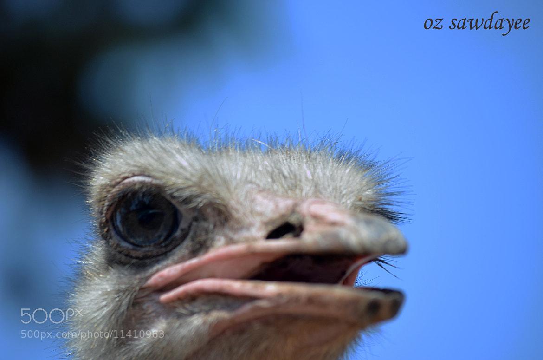 Photograph Struthio camelus by Oz Sawdayee on 500px