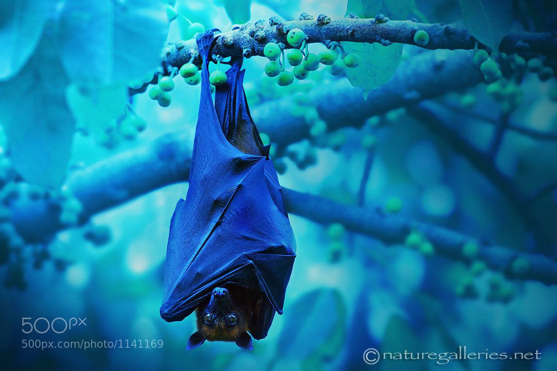 Photograph Bat in Night. by Sasi - smit on 500px