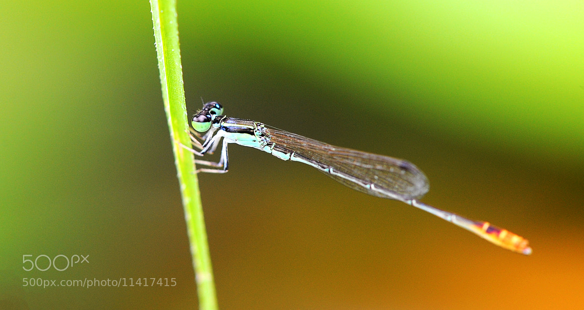 Photograph Dragonfly by Vu Le on 500px