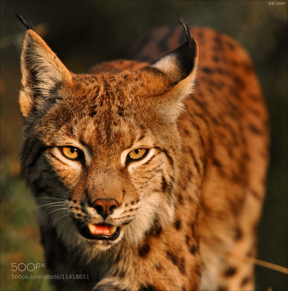 Photograph Lynx  by Elmar Weiss on 500px